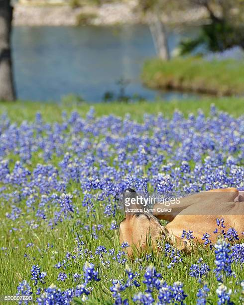 mixed breed great dane playing in a field of bluebonnets - texas bluebonnet stock pictures, royalty-free photos & images