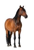 Mixed breed of Spanish and Arabian horse