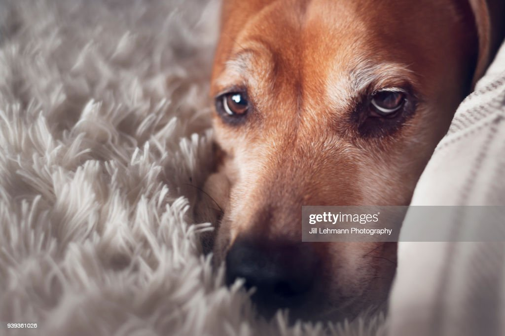A Mixed Breed - Pit Bull Terrier Dog Lounges At Home in a Close Up Shot : Stock Photo