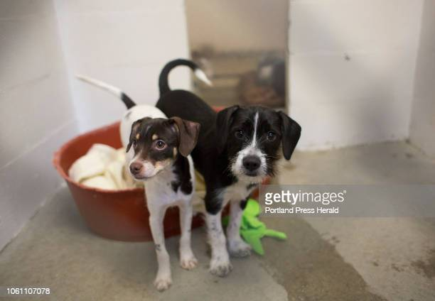 Mixed breed puppies Scotty left and Sarge two of more than 20 dogs seized during a raid of a River Road home in Brunswick in August were up for...