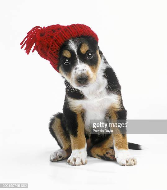 mixed breed puppy wearing red knit hat, close up - ニット帽 ストックフォトと画像