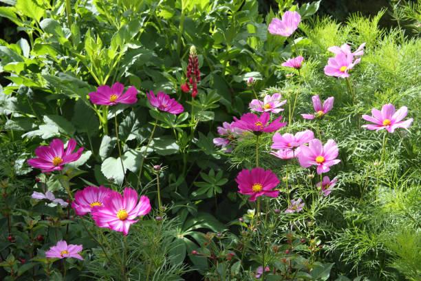 Mixed dwarf pink cosmos flowers in English cottage garden.