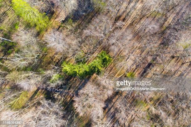 mixed forest in spring, screen table forest, augsburg, drone shot, swabia, bavaria, germany - augsburg zwaben stockfoto's en -beelden