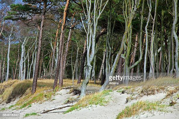 Mixed forest with beech and pine trees in the Western Pomerania Lagoon Area National Park / Nationalpark Vorpommersche Boddenlandschaft Germany