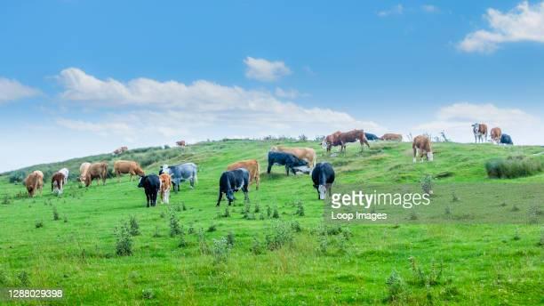 Mixed herd of cattle grazing a hillside.