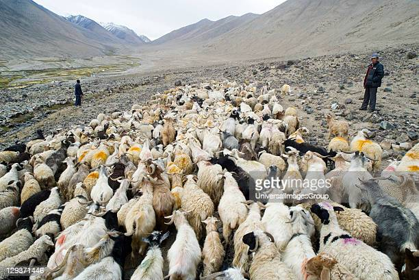 Mixed herd of Pashmina and other goats sheep on summer pasture in highaltitude Himalayan river valley with herders Tangyar Nubra Ladakh JammuKashmir...