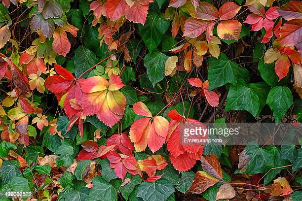 mixed ivy leaves in autumn - emreturanphoto - fotografias e filmes do acervo