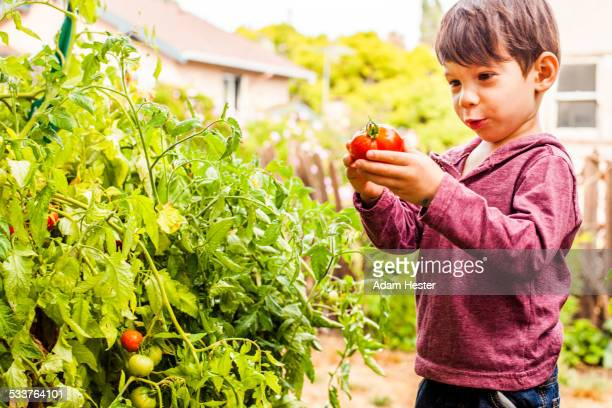 Mixed race boy holding tomato in garden