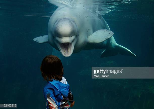 mixed race boy looking at beluga whale - beluga whale stock photos and pictures