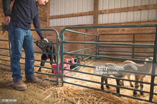 Mixed race boy petting calf in barn