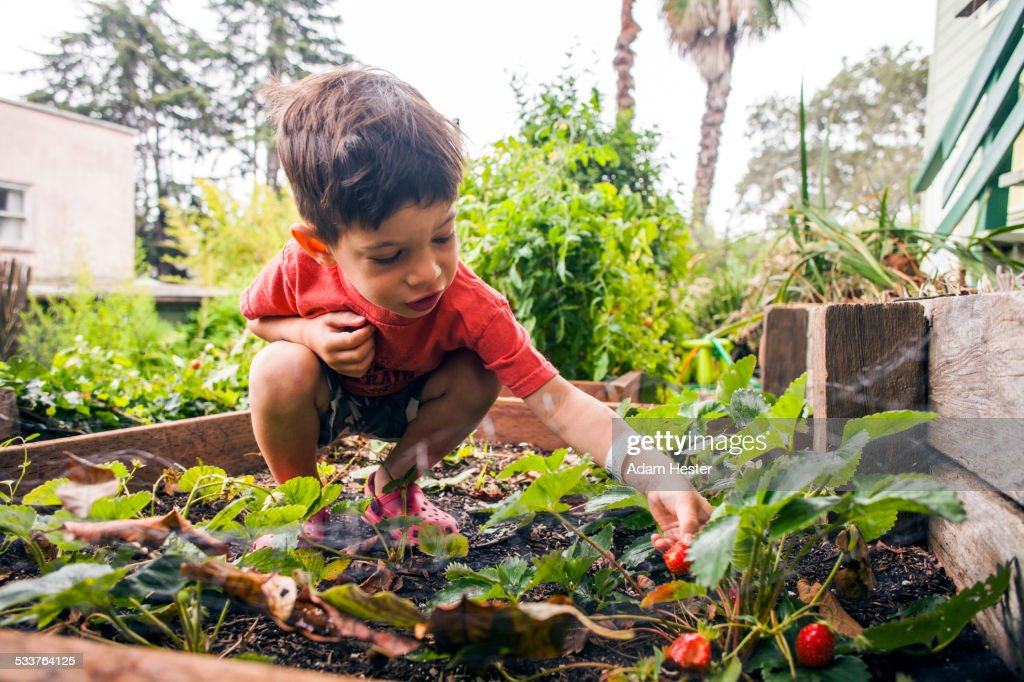 Mixed race boy picking strawberry in garden : Foto stock