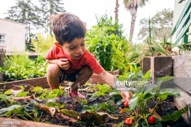 Mixed race boy picking strawberry in garden