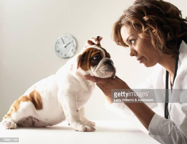 Mixed Race female veterinarian examining puppy