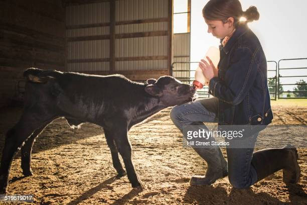 Mixed race girl feeding calf in barn