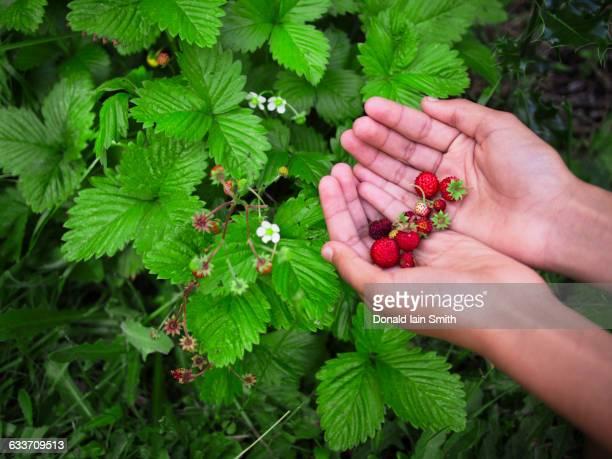 Mixed race girl gathering strawberries