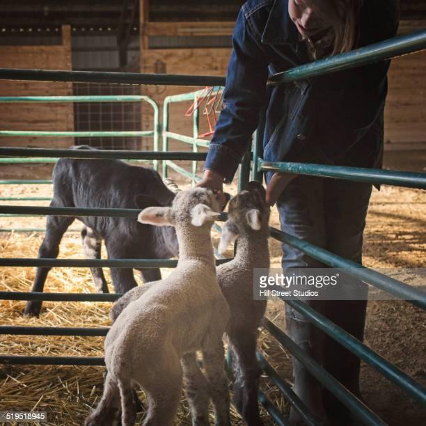 Mixed race girl petting calf and lambs in barn