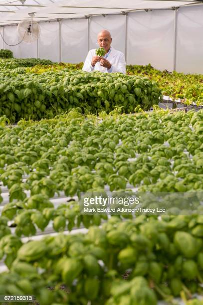 Mixed Race scientist examining green basil plant in greenhouse