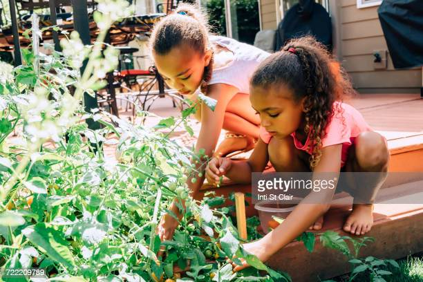 Mixed Race sisters picking food in garden