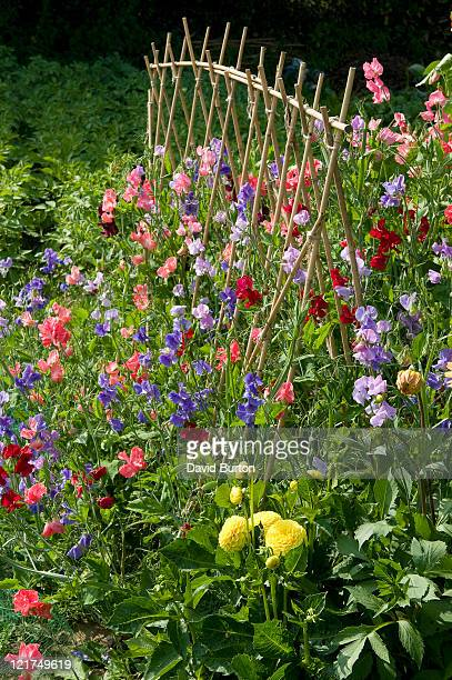 Mixed sweet pea flowers (Lathyrus odoratus) with cane supports