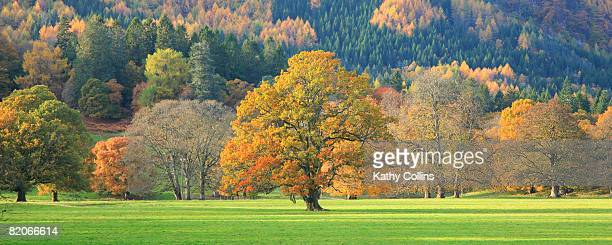 mixed trees in autumn colour, oak beech larch fir, perthshire scotland uk - kathy hill stock photos and pictures