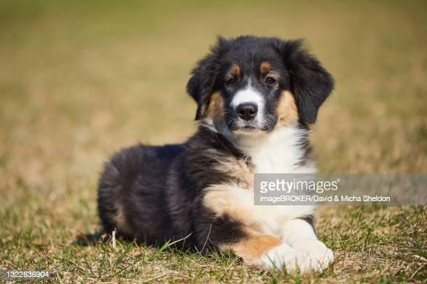 mixed-bread dog (australian shepherd and golden retriever), bavaria, germany - australian shepherd puppies stock pictures, royalty-free photos & images