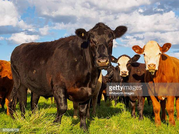 Mixed-breed cattle on a Victorian farm