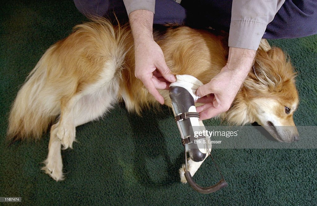 A mixed-breed collie named Maulee wears a custom designed artificial leg at her home October 2, 2001 in Shady Dale, GA. The prosthesis was designed for her after she lost her paw in a wheat cutter accident near her home.