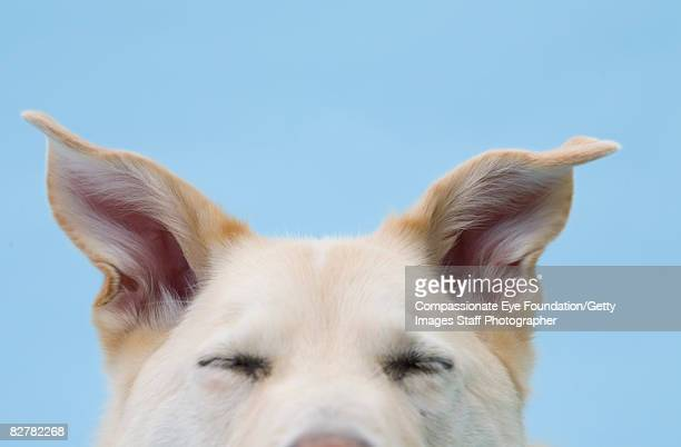 """mixed-breed dog, close-up on head and ears - """"compassionate eye"""" stockfoto's en -beelden"""