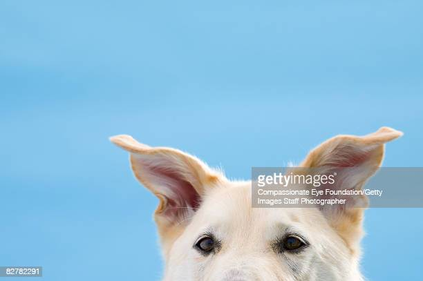 """mixed-breed dog, close-up on head and ears - """"compassionate eye"""" foto e immagini stock"""