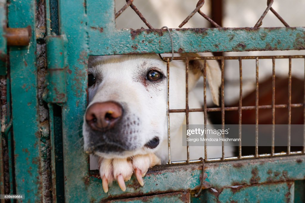 A mixed-breed dog looking sad behind a fence in a dog shelter in Mexico City : Stock Photo