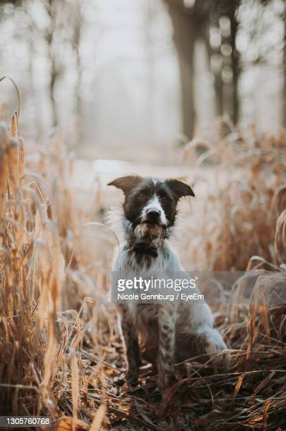 mixed-breed dog sitting in field with sun behind him. - mixed breed dog stock pictures, royalty-free photos & images