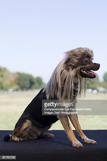 Mixed-breed dog wearing wig
