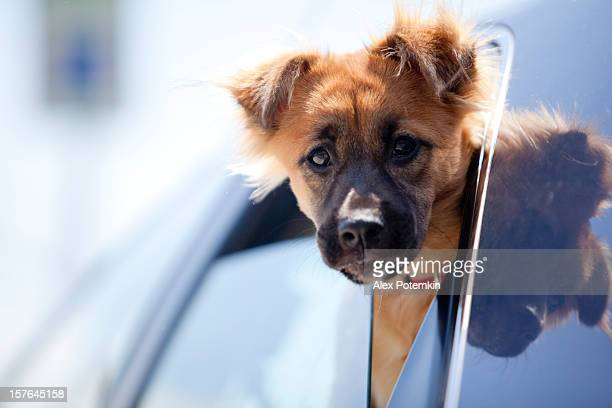 Mixed-breed dog with floppy ears peaking out the car window