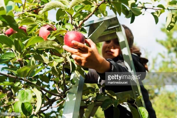 """gemengd ras meisje appels plukken in de boomgaard. - """"martine doucet"""" or martinedoucet stockfoto's en -beelden"""