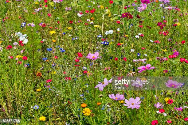 Mixture of colourful wildflowers in wildflower zone bordering meadow, especially planted to attract and help bees, butterflies and other pollinators.