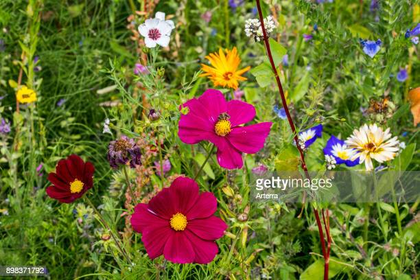 Mixture of colourful wildflowers in wildflower zone bordering grassland, planted to attract and help bees, butterflies and other pollinators.