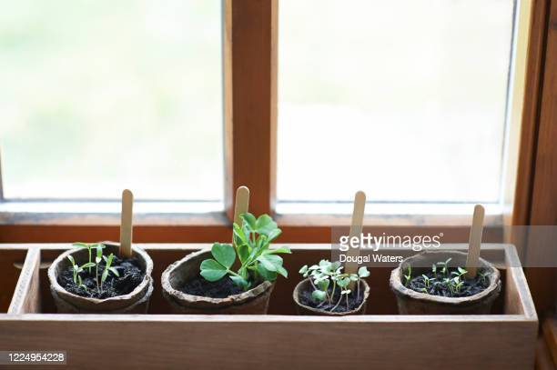 a mixture of young seedlings growing in window sill box with plastic free compostable pots. - pot plant stock pictures, royalty-free photos & images