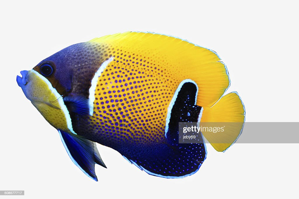 Mjestic angel fish isolated on white : Stock Photo
