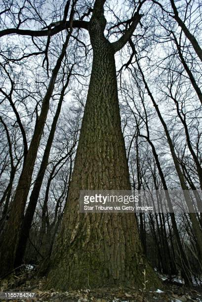 60 Top Black Walnut Tree Pictures, Photos, & Images - Getty Images