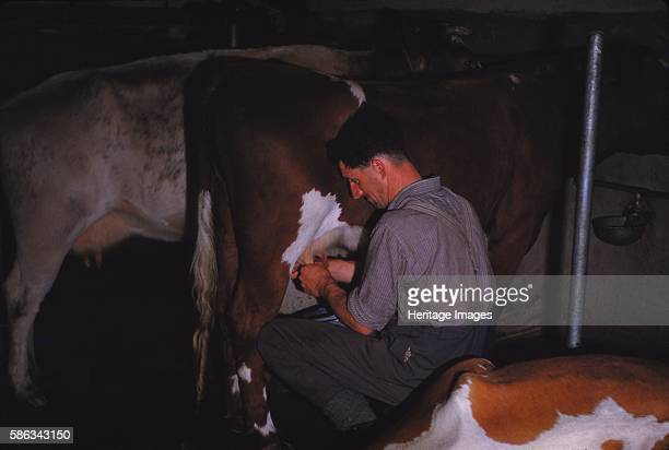 Mliking Cattle Lake District farm c1960 Farming is an important part of the Lake District story Milking requires the animal to be currently or...