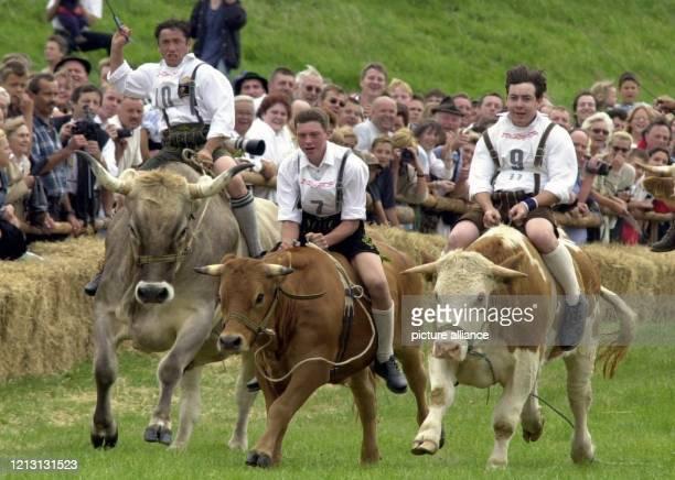 Männer reiten am 27.8.2000 in Münsing beim 2. Münsinger Ochsenrennen um die Wette. Insgesamt starten 20 Ochsen von Landwirten aus dem kleinen Ort am...