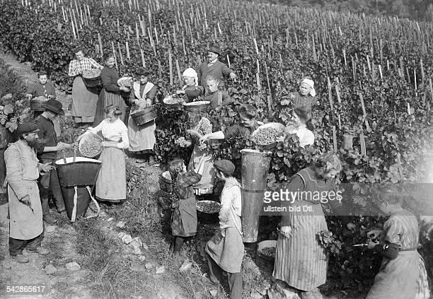 Männer und Frauen bei der Weinernte in Rüdesheim am Rhein Arbeit im Weinberg undatiert vermutlich 1911Foto Conrad HünichFoto ist Teil einer Serie
