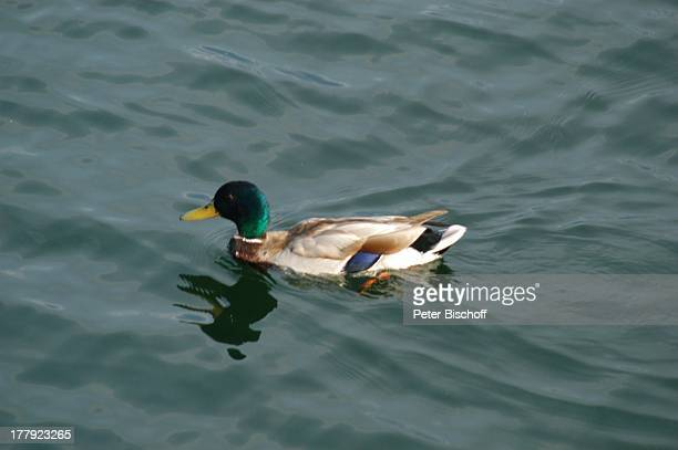 Männliche Ente , Plauer See, Mecklenburgische Seenplatte, Mecklenburg-Vorpommern, Deutschland, Europa, Tier, Vogel, Wasservogel, Ente, schwimmen,...