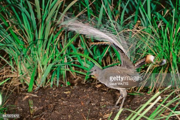 Ménure superbe oiseaulyre Victoria Australie