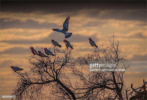 Mob of Galahs in a tree at sunset, Flinders Ranges, South Australia.
