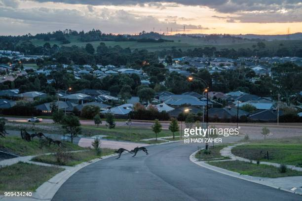 a mob of kangaroos crossing a road in suburban melbourne | australia - urban sprawl stock pictures, royalty-free photos & images