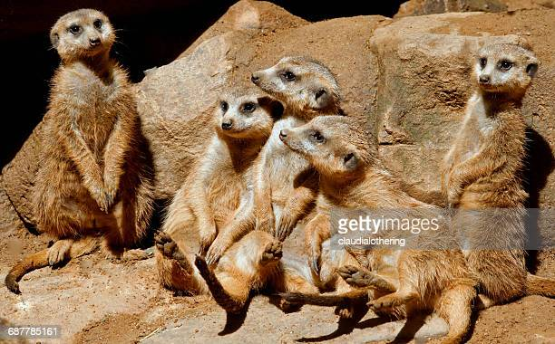 mob of meerkats sitting on rocks, mpumalanga, south africa - meerkat stock pictures, royalty-free photos & images