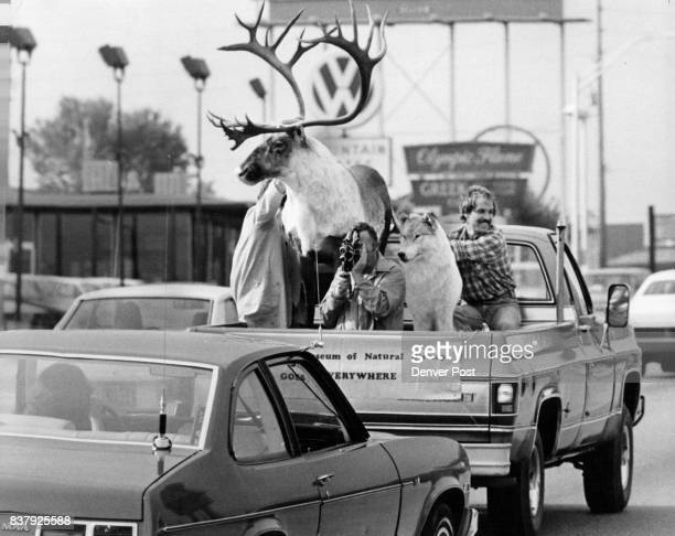 Mobile Displays A cameraman records the reactions of motorists to the mounted caribou and Alaskan wolf being transported in a pickup truck from the...