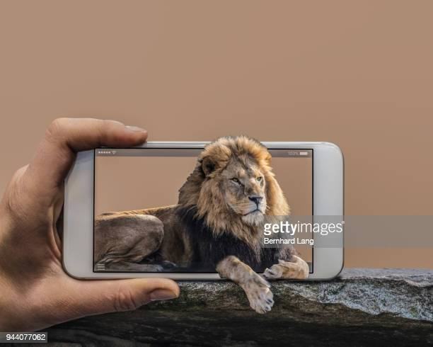 Mobile Phone displaying lion looking out of phone
