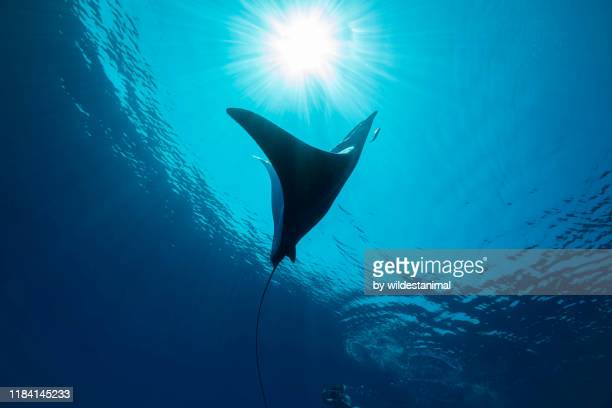 mobula ray and free diver swimming near the surface, ligurian sea, northern italy. - sea life stock pictures, royalty-free photos & images